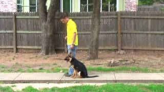 Diesel - 4 Month Old German Shepherd Puppy - Obedience Board and Train