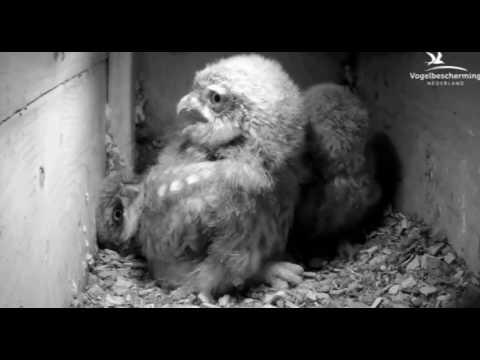 Family 1: Little Owl Chicks - 24.05.17