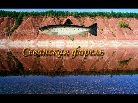 Русская Рыбалка 3.9 Севанская форель на Майгунгне