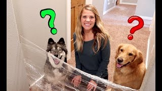 Husky & Golden Retriever Reaction To Invisible Challenge!