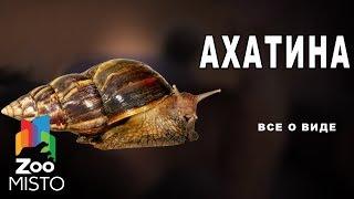 Ахатина - Все о виде улитки | Вид улитки - Ахатина