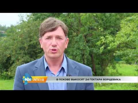 Новости Псков 26.07.2016 # Борьба с борщевиком