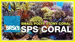 Week 37: Small Polyp Stony corals! SPS selection, care, & placement | 52 Weeks of Reefing #BRS160
