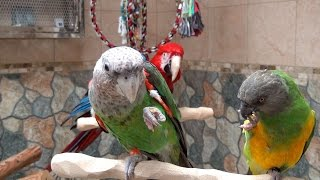 Roudybush Pellets - Parrots Compare Different Size of Pellet