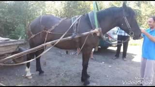 Цыганские лошади 17.09.2016