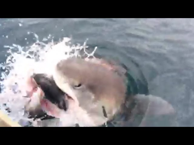 Shark Steals Fish off Fisherman's Line