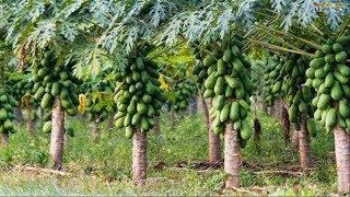 WOW! Amazing Agriculture Technology   Papaya