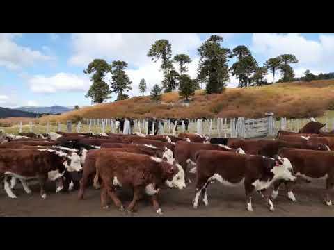 150 teneros en San Martin de los Andes (mitad machos, mitad hembras)
