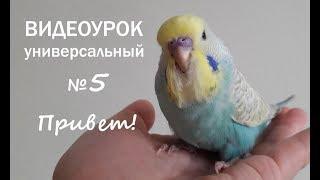 """🎶 Учим попугая говорить. Урок 5: """"Привет!"""""""