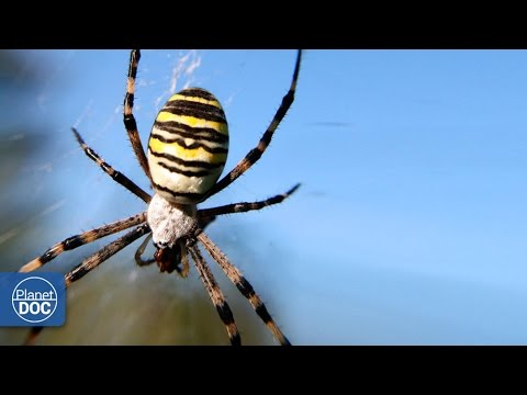 Poisonous Spider | Argiope