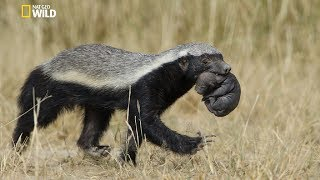National geographic Documentary - Honey Badger - New Documentary 2018