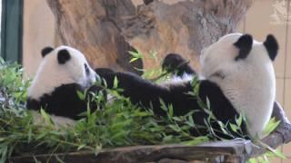 Fu Hu nom-noms Bamboo with mommy Yang Yang