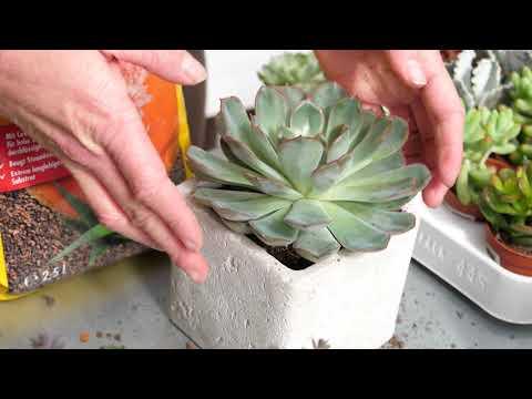 Sukkulenten - richtig gießen, düngen und pflegen