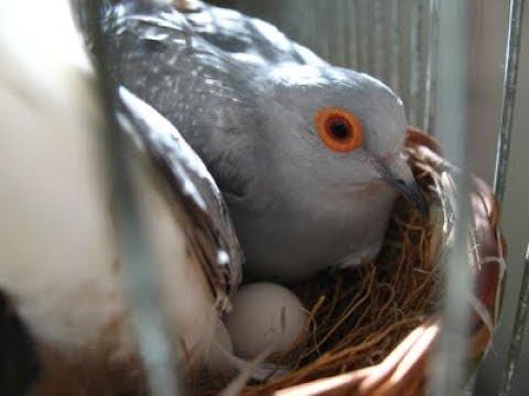 silver dove birds best progress in colony urdu hindi by lodh