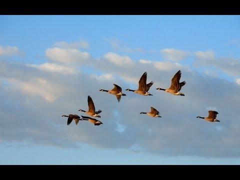 מה שבני אדם יכולים ללמוד מכמה אווזים