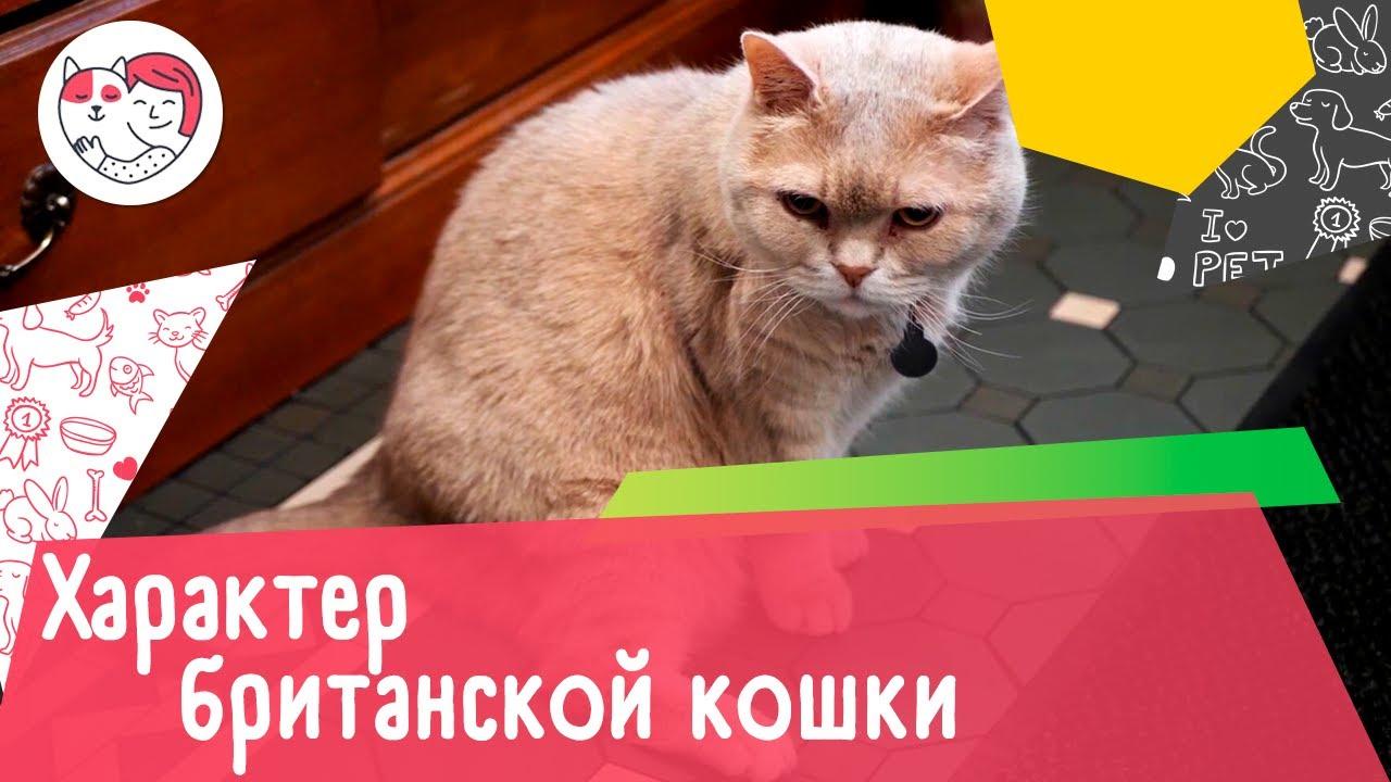 4 черты характера британской короткошёрстной кошки