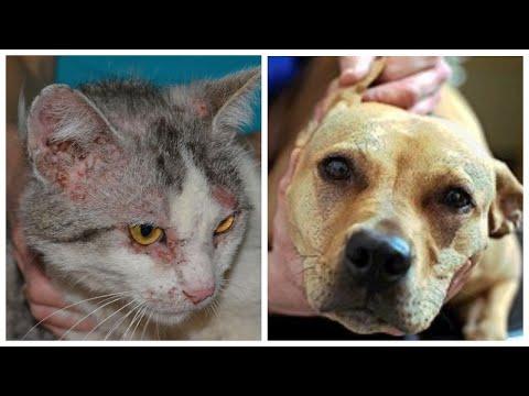 Блошиный дерматит - причина расчесов у кошек и собак