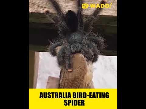 Australia's Bird Eating Spider
