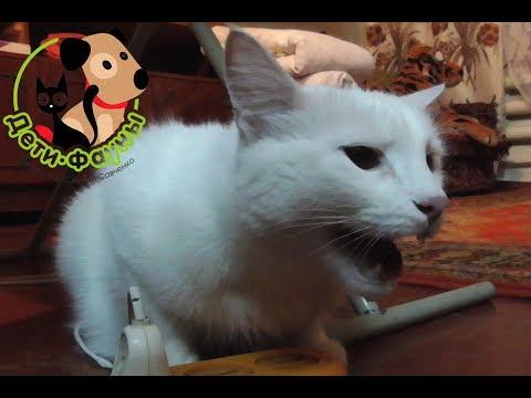 Отек легких у кошки, основные симптомы и причины