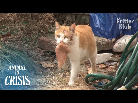 , title : 'Injured Cat Never Gives Up Feeding Her Kittens Despite Dizziness   Animal in Crisis EP91