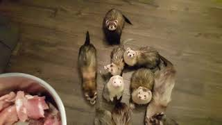 Fuzzy Frenzy Ferrets Feeding Time