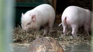 Cute! Age two months. Babies of miniature pig (Göttingen) and mom eating grass.かわいい!草を食べるミニブタ母子