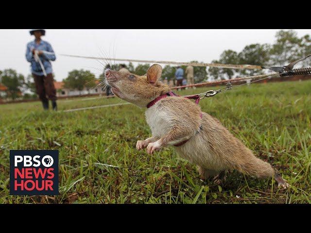 Знаменитая крыса-сапер Магава уходит вотставку