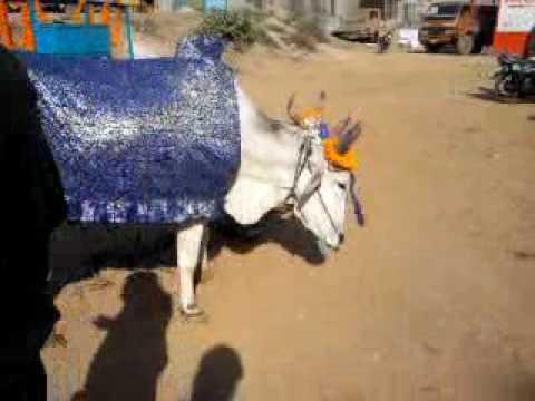 Dancing bull on occasion of shrimad bhagwat at rajnandgaon  chhatishgarh