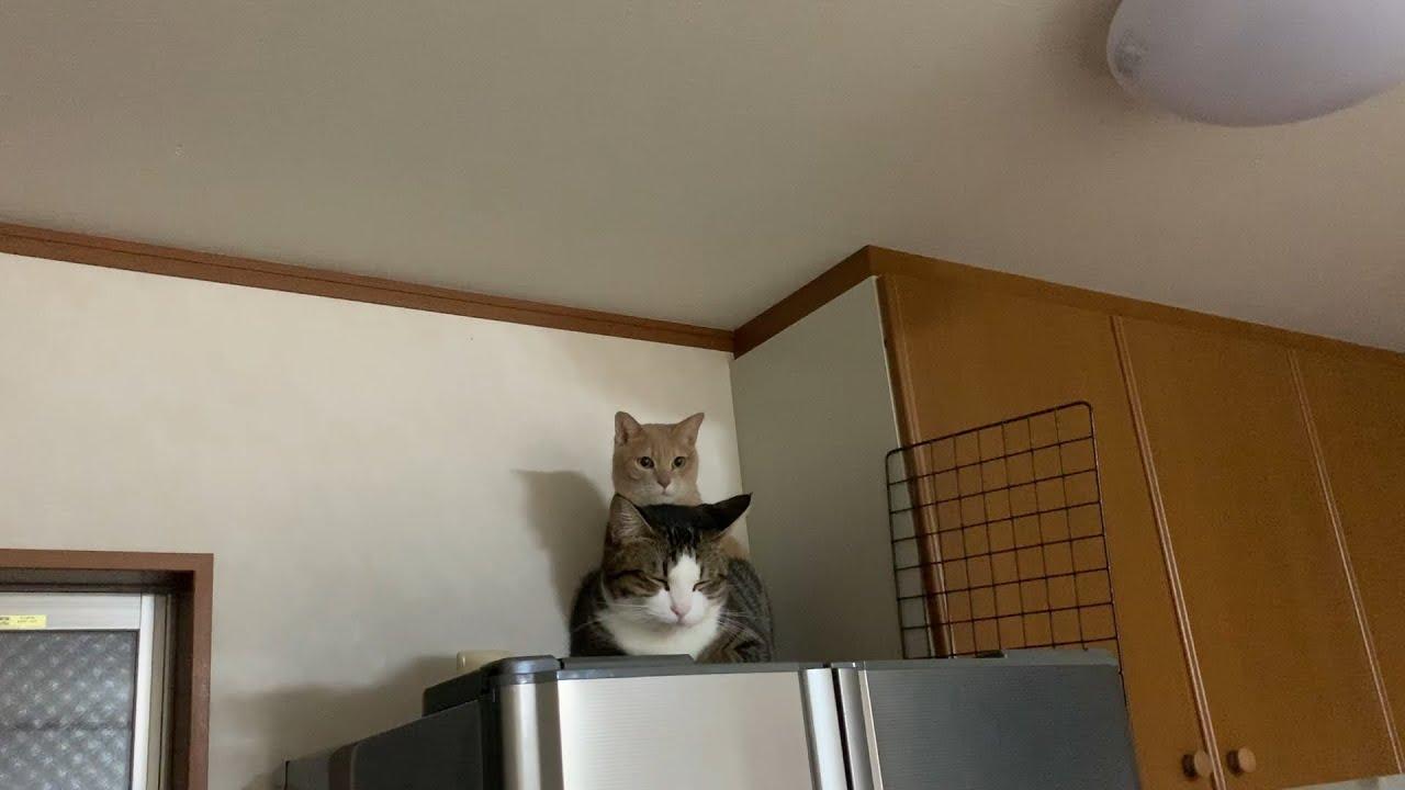 覗き込むとこっちを見てくる猫 #猫 #cat #こっち