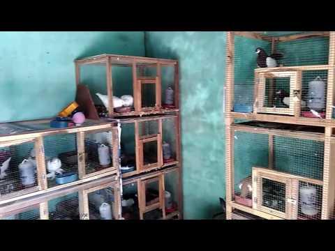 Video Ternak merpati hias klaten indonesia