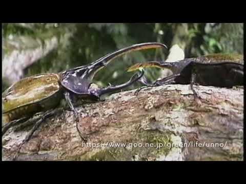 ヘラクレスオオカブトの喧嘩 Hercules beetle fight