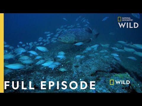 Shark Eating Goliath (Full Episode) | Monster Fish