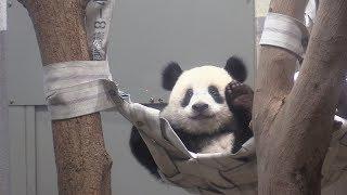 シャンシャン、元気に成長=12日に1歳-上野動物園