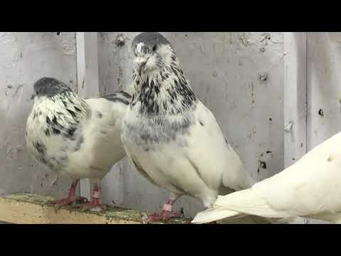 Pigeon For Sale In Rawalpindi