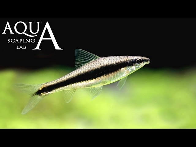 Aquascaping Lab - Crossocheilus Siamensis algae eater description / mangia-alghe siamese descrizione