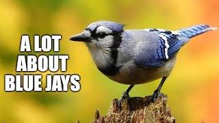 A lot About Blue Jays