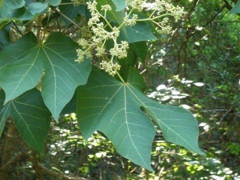 Стеркулия платанолистная   Sterculia platanifolia