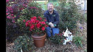 How to Fertilize Your Encore Azaleas