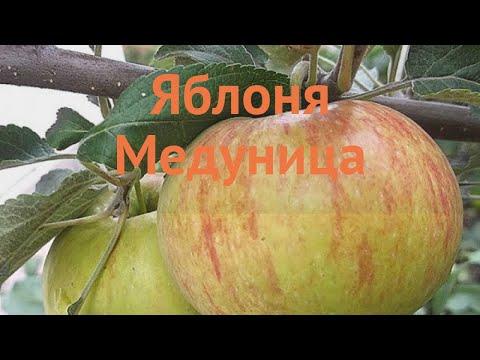 Яблоня обыкновенная Медуница (malus medunitca) 🌿 Медуница обзор: как сажать, саженцы яблони Медуница