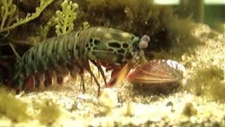 Mantis Shrimp Destroys Clam