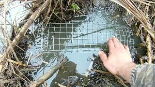 Как ловят ондатру в канаде
