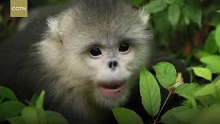 The adorable snub-nosed monkeys | Endangered species: 3000 alive