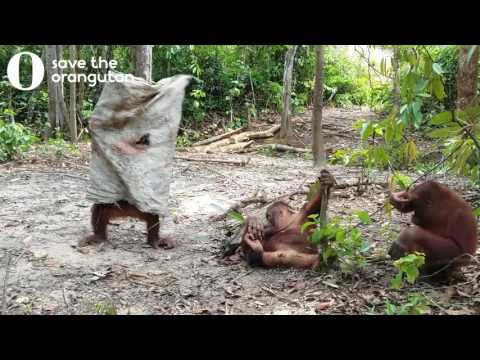 Orangutan dresses up in a sack to try to scare his bemused friends