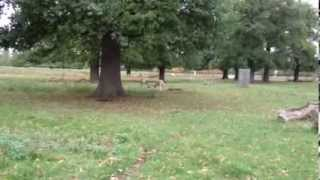preview picture of video 'Rutting deer in Bushy Park.'