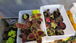 Jims Wholiest of Coleus!! Growing Coleus!! YOU CAN DO THIS!!