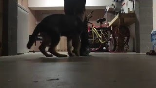 14 Week Old German Shepherd Puppy Training Session!
