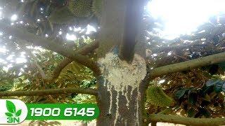 Trồng trọt | Cách trị bệnh xì mủ thối rễ trên cây sầu riêng