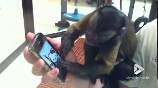 animale maimuta comica la telefon
