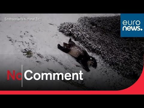 Giant Panda Enjoys a Slide in the Snow
