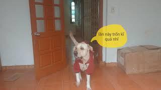 Chó Củ Cải ngốc nghếch chơi trốn tìm | My dog plays hide and seek so cute